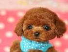 纯种泰迪幼犬贵宾犬巧克力泰迪包健康可上门多只挑选