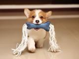 随州双血统杜宾幼犬 断尾裁耳杜宾 完美身材 血统纯