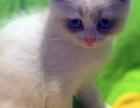 長期出各品种貓仔