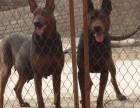 出售纯种莱州红犬,顶级护卫犬莱州红