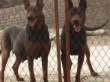 云浮莱州红犬价格,出售纯种莱州红犬