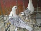 天津肉鸽养殖供应种鸽 青年鸽 白条鸽 肉食鸽 价格优惠
