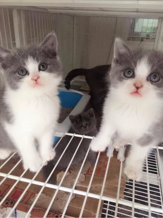 北京哪里有英短猫卖 专业繁殖 公母均有 包纯种包健康
