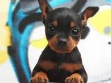 CKU认证犬业专业繁殖小鹿宝宝绝对信誉