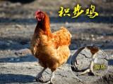 农业加盟北京积步鸡养殖加盟