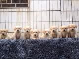 狗场直销纯种赛级/宠物级拉布拉多 纯种 会上厕所