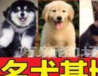 【广东专业养殖基地】【金毛】【纯种健康】待售幼犬
