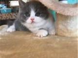 北京东城蓝白小猫咪怎么卖