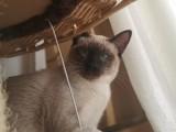 北京顺义后沙峪4个月大暹罗猫,公猫