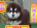优选犬舍   送货上门—专业繁殖熊版阿拉幼犬—签售后协议可见父母