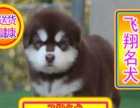 优选犬舍   送货上门专业繁殖熊版阿拉幼犬签售后协议可见父母