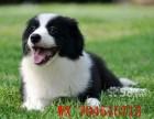 出售边牧幼犬 智商排行第一 非常优秀的家庭伴侣犬