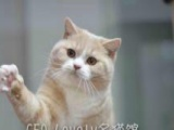 哈尔滨市CFA LOVELY名猫种猫展示 幼猫出售