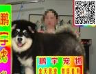 北京纯种阿拉斯加24小时送狗上门种公借配