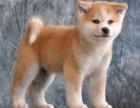 专业繁殖日系秋田犬,品种纯,种犬引进日本,包健康