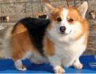 精品纯种柯基犬幼犬出售健康保障疫苗齐全可上门选