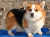 犬舍纯种顶级柯基犬短粗腿 三色柯基 两色柯基