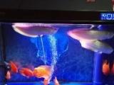 财神鹦鹉鱼、银龙鱼