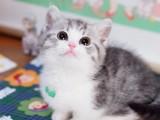 曼基康矮脚猫咪活体宠物猫幼猫曼基康纯种活