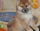 日本引进柴犬宝宝 保证纯种健康 均带血统证书疫苗本
