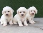 长不大比熊犬 比熊幼犬出售 法系卷毛比熊狗 小型犬幼犬宠物狗