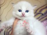 潮州哪里有布偶猫卖 潮州哪里有猫舍