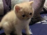 加菲猫出售,2个月DD MM找新家