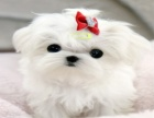 哪里有卖马尔济斯犬马尔济斯犬多少钱 支持全国发货