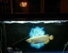 出售家养金龙鱼及鱼缸一套