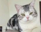 山西太原--萌猫生活馆特价转让英短-美短-折耳猫