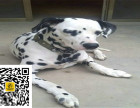 哪里有卖斑点狗斑点狗多少钱斑点狗图片斑点狗幼犬