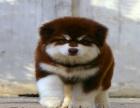纯种巨型雪橇犬阿拉斯加 大骨架 品相** 包健康