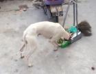 灵缇犬。 格力犬