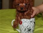 成都贵宾泰迪茶杯体型犬 专业繁育 健康品质保障 可签协议