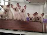 成都暹罗猫怎么卖的 成都暹罗猫的价格是多少钱 暹罗猫照片