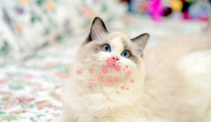 韶关哪里有布偶猫卖?布偶猫可以养到多大?