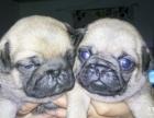 纯种巴哥幼犬出售 虎头满脸褶子 购买有保证签协议
