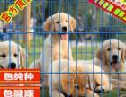 出售金毛幼犬纯种健康保障疫苗驱虫做齐签协议
