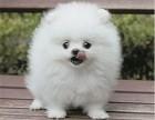 重慶出售 純種博美幼犬 疫苗齊全出售中 可簽協議健康保障