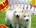 西伯利亚《哈士奇幼犬》出售高品质正中雪橇犬