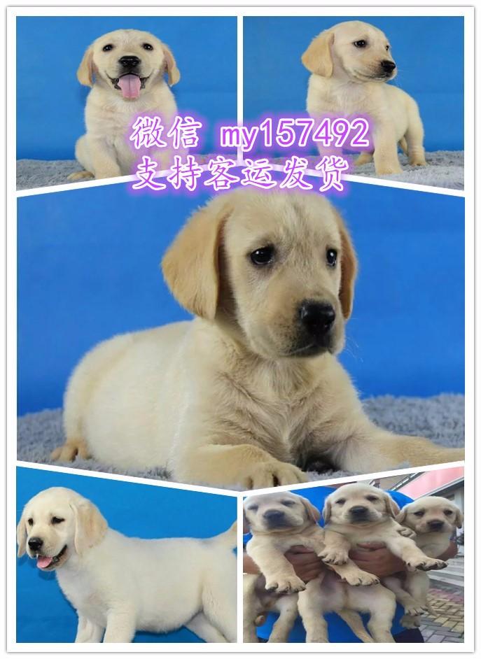 郑州宠物领养中心地址 郑州出售宠物狗 郑州犬舍排行榜