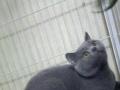 立耳蓝猫提供配种