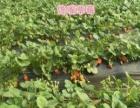 批发及零售鲜草莓