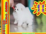 实物拍摄精品博美 幼犬——疫苗齐全——本市免费送货