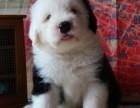 大连出售纯种英国古代牧羊犬白头通背活体古牧