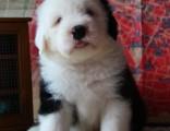 北京出售 纯种巨型古代牧羊犬幼犬古牧犬活体宠物狗