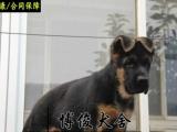 广东省大型养殖狗场、云浮哪里有卖德国牧羊犬