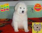 哪里出售大白熊 纯种大白熊多少钱
