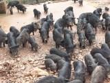 浏阳现代养殖藏香猪的养殖有成功的吗