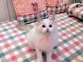 青岛哪里有卖布偶猫幼崽 青岛较便宜布偶猫多少钱一只保健康